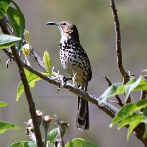 Ocellated Thrasher