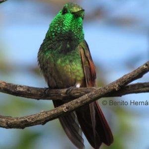 Berriline Hummingbird