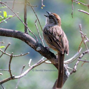 Oaxaca sparrow