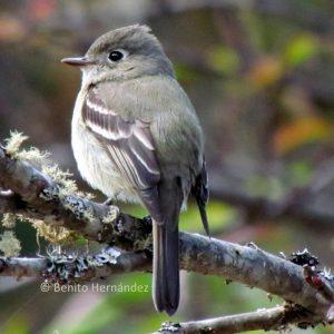 Pine flycatcher