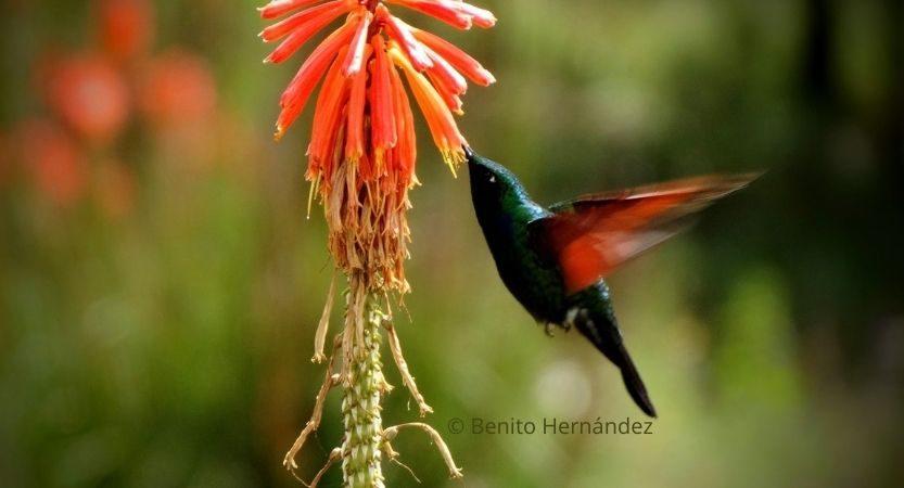 Hummingbird and red hot poker flower